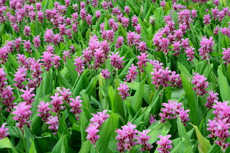 stamin: Field Of Pink Flowers background