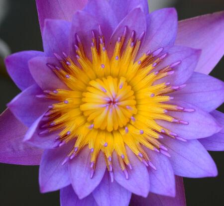 nymphaeaceae: Lotus flower close-up