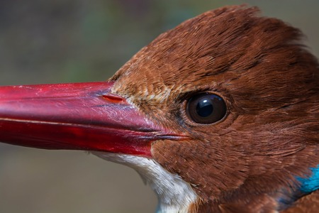 coraciiformes: Close up eye bird Pelargopsis capensis in forest