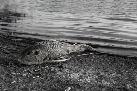 魚死ぬと原油流出 写真素材