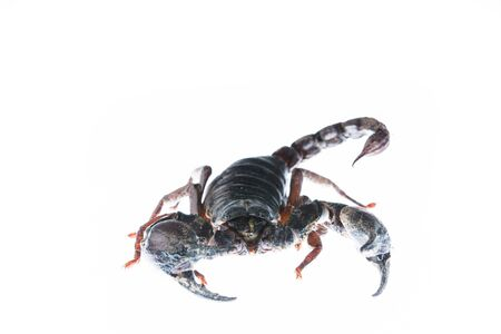 micro organism: Scorpion isolated on white
