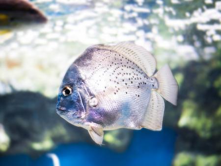 sliver: Sliver Sicklefish