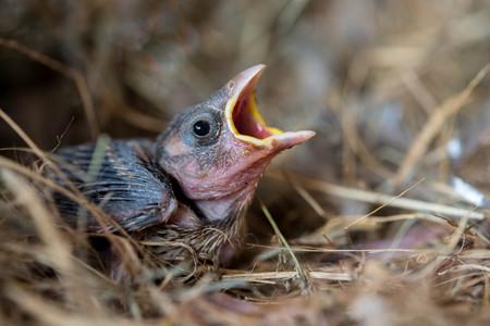 Baby bird hungry in the Bird Nest