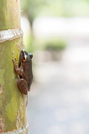 arrow poison: Common tree frog Polypedates leucomystax in terrarium