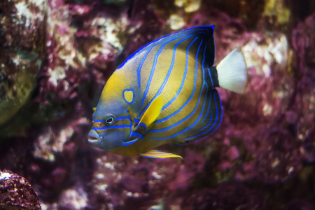 pomacanthus: bluering angelfish (Pomacanthus Annularis)