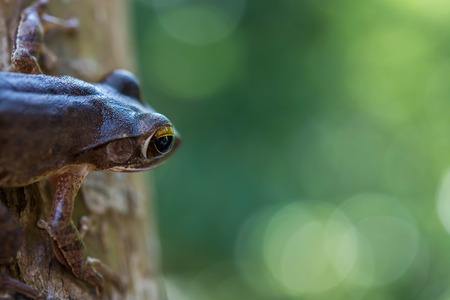 poison dart frogs: Common tree frog Polypedates leucomystax in terrarium