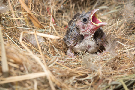 yearning: Baby bird hungry in the Bird Nest