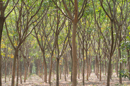 rubber plantation, South of Thailand