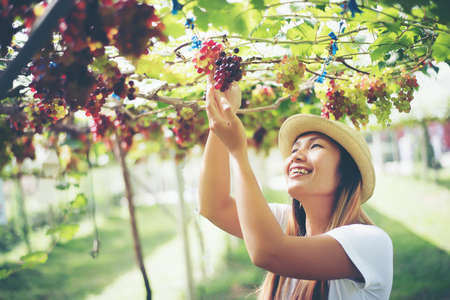 Young Woman harvesting grapes in vineyard during harvest season,
