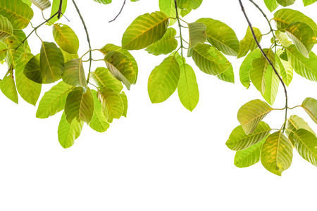 climbing frames: Ivy green with leaf on isolate white background Stock Photo