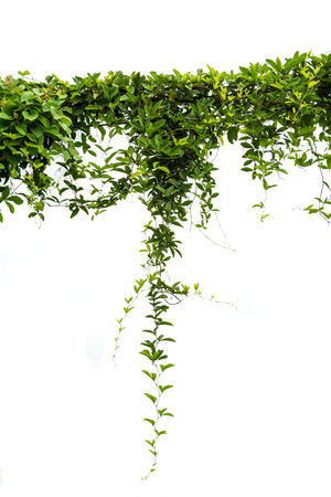Ivy green with leaf on isolate white background Stock Photo