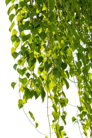 Ivy green with leaf on isolate background Stock Photo
