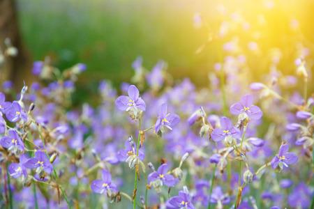 violet color of Murdannia giganteum flower