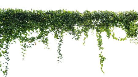 Efeugrün mit Blatt auf isoliertem weißem Hintergrund