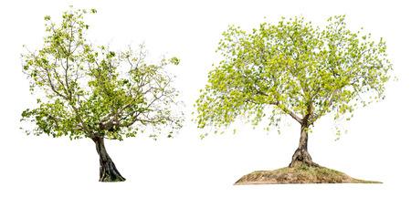 Bodhi tree beautiful shape on white isolate background