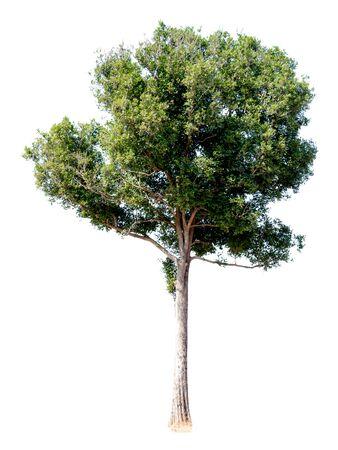 Tree alone with leaf on isolate white background Zdjęcie Seryjne