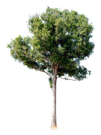 Tree alone with leaf on isolate white background