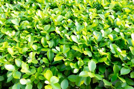 Ivy green with leaf on isolate white background Stock fotó