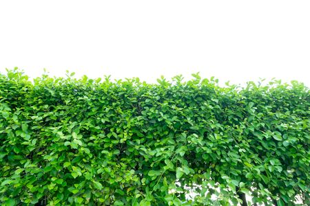Ivy green with leaf on isolate white background Standard-Bild