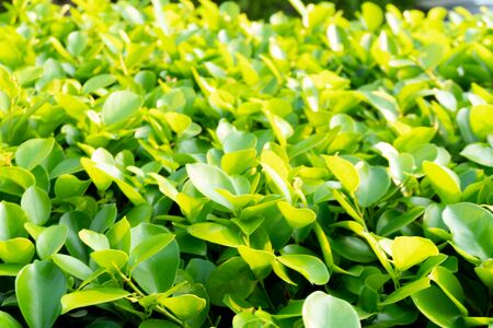 Ivy green with leaf on isolate white background Standard-Bild - 142763022