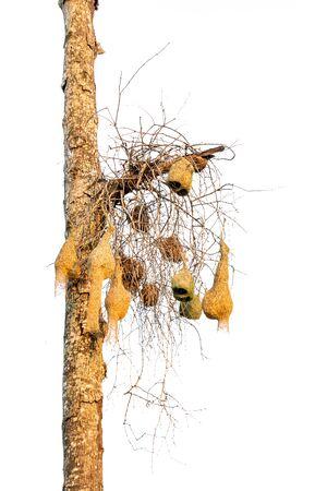 too many asia bird nest on tree leaf close up