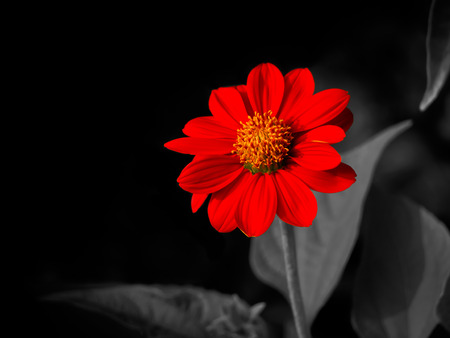 A Red Zinnia with Leaves on Partial Black Isolate Background photo
