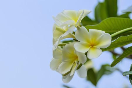 champa flower: Beautiful white flower in thailand, Lan thom flower Stock Photo