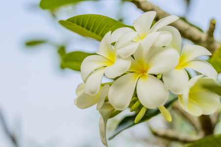 thom: Beautiful white flower in thailand, Lan thom flower Stock Photo