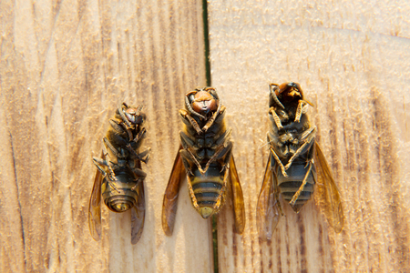 abdomen yellow jacket: dead wasp on background