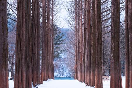 pine trees: Nami island,Row of pine trees.
