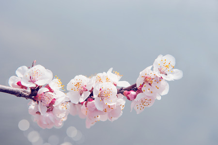 Cherry Blossom with Soft focus, Sakura season Background