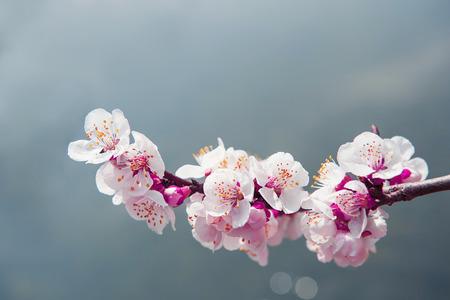 fleur de cerisier: Cherry Blossom avec un accent doux, saison Sakura Fond Banque d'images