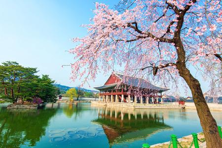 fleur de cerisier: Gyongbokgung Palais avec fleur de cerisier au printemps, la Cor�e
