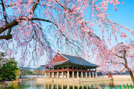 봄에 벚꽃 Gyongbokgung 궁전, 한국
