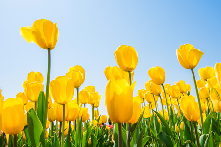 Colorful tulips, tulips in spring.