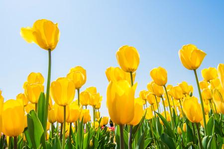 Kleurrijke tulpen, tulpen in het voorjaar. Stockfoto