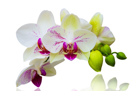 Orchid isolated on white background. photo