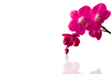 orchids: Orchid isolated on white background.