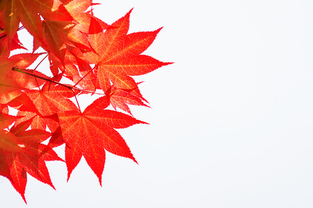 Autumn rea maple leaves on white background.