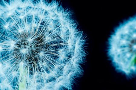 Close up of a dandelion flowers. Stok Fotoğraf