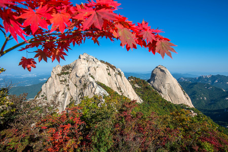 tree in autumn: Baegundae peak and Bukhansan mountains in autumn,Seoul in South Korea.