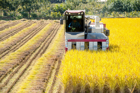 Combine harvester in a rice field during harvest time. Stock Photo