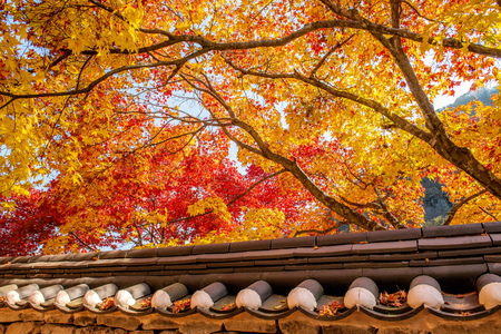 Roof of Gyeongbukgung and Maple tree in autumn in korea.
