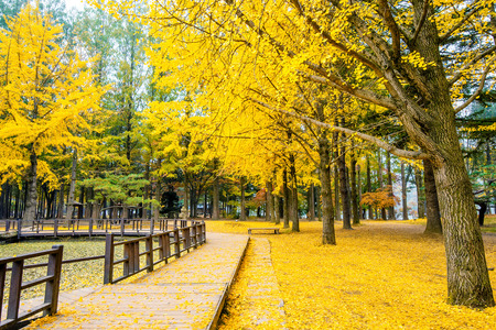Autumn with ginkgo tree in Nami Island, Korea. Фото со стока