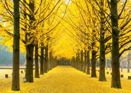 ナミ島、韓国で黄色のイチョウの木の行 写真素材 - 48216820