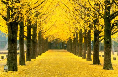 Rij van gele ginkgo boom in Nami Island, Korea