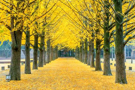 남이섬, 한국의 노란 은행 나무의 행 스톡 콘텐츠