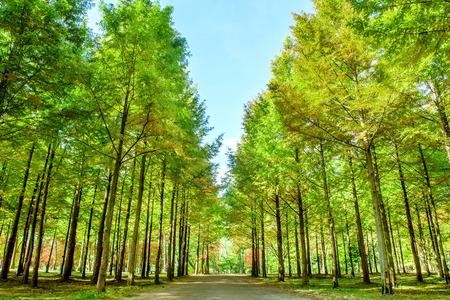 Rij van groene bomen in Nami Island, Korea. Stockfoto