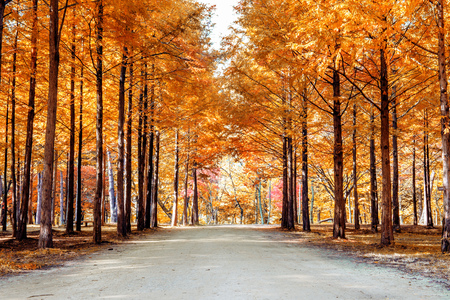 Autumn trees in Nami island, Korea.