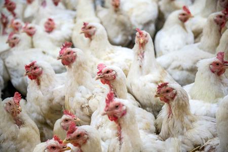 pollo: pollo enfermo o triste en el pollo de granja, epidemia, la gripe aviar, los problemas de salud. Foto de archivo